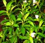 rhododendron-senduduk